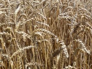 pšenice na Lounsku