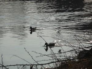 A vodní ptactvo? To se prohání po stříbrné hladině.